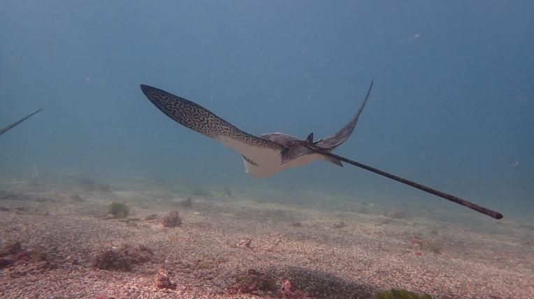 魟魚展開雙翅的體態優美,彷彿在水底翱翔