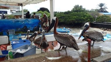 聚集在魚市場的鵜鶘,有如魚販養的寵物一般,等著被餵食魚頭和內臟