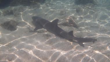 淺層海床上的鯊魚,身長不及1公尺
