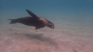 海豹喜歡靠近人類,但有時會有攻擊遊客的行為