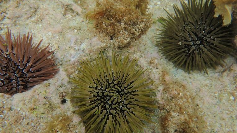 各式各樣的海膽,潮間帶向外走出一點會有密密麻麻的海膽地雷區