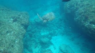 遠遠的綠蠵龜,浮潛就是要帶防水相機!