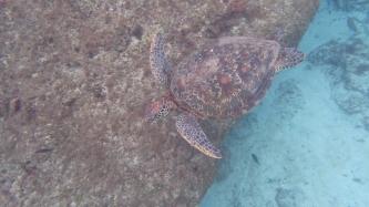 近近的綠蠵龜,浮潛就是要帶防水相機!